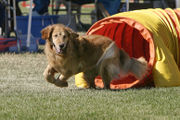 Golden Retriever on Agility Course