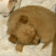 Sleeping Chihuahua Puppy