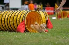 Chihuahua running agility