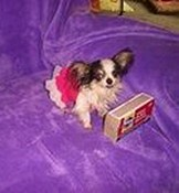 Boo Boo - The Worlds Smallest Living Dog