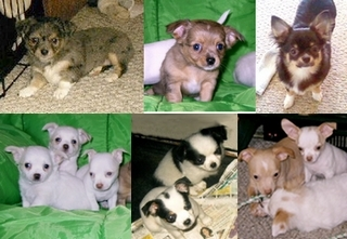Various Chihuahua coat colors