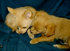 Chihuahua litter mates