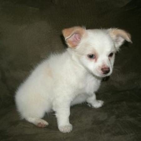 Available Chihuahua For Sale - Adorably Awesome Chihuahua Puppies