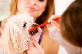 Vet Examining Dogs Teeth