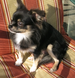 Tri Color Long Hair Chihuahua