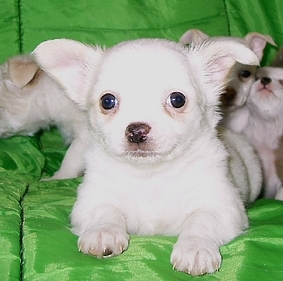 2 month old Female Chihuahua puppy