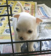 Chihuahua puppy in crate