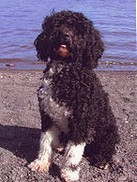 A Portuguese Water Dog Picture