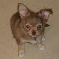 9 week old Chihuahua Puppy