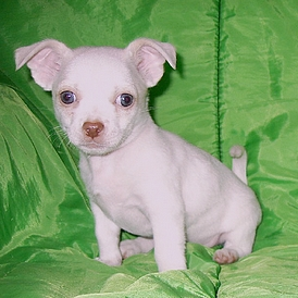 Female short hair Chihuahua puppy