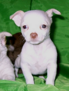 short hair Chihuahua puppy