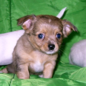 2 month old male Chihuahua puppy