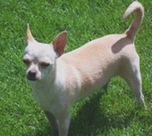 Female Tinkerbelle Chihuahua