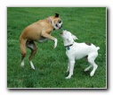 2 Boxers playing