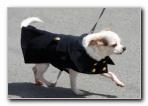 Chihuahua on Leash
