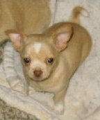 Smooth Coat Chihuahua Puppy