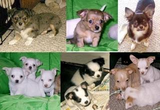 Chihuahua Coat Colors