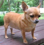 Overweight Chihuahua