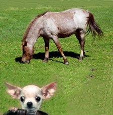 Picture of Horse with Chihuahua