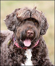 Picture Of A Portuguese Water Dog
