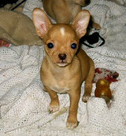 Female Chihuahua puppy 11 weeks old