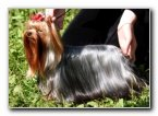 Showing a Yorkshire Terrier
